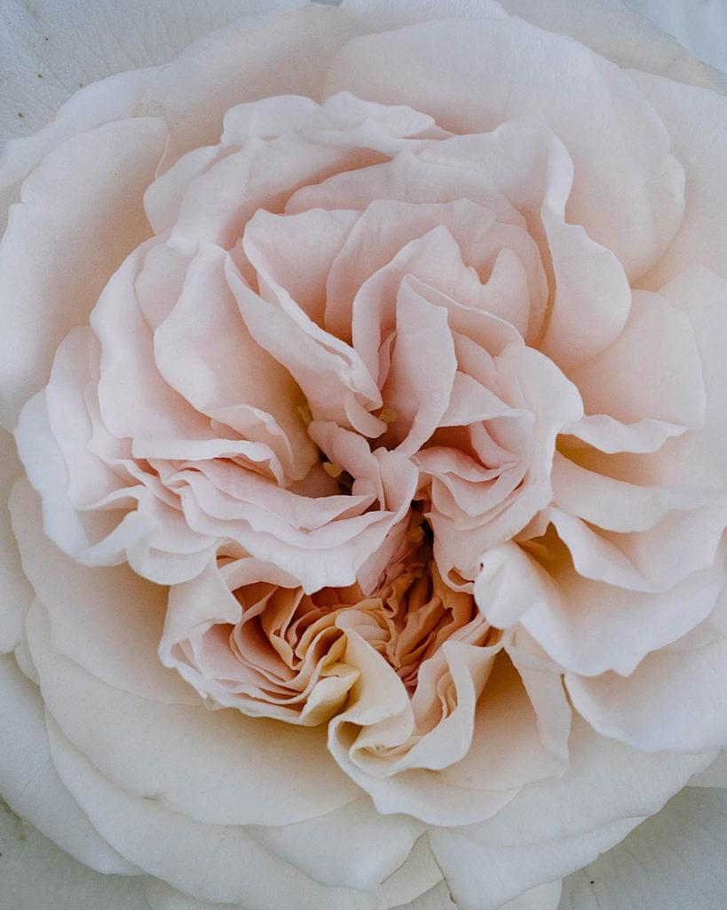 Matthias Claudius rose in bloom